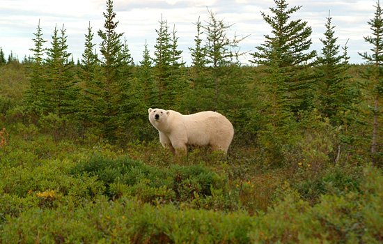 Canadian Polar Bears on the Tundra along Hudson Bay, Manitoba