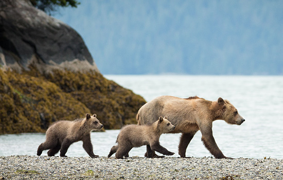 Amazing bear viewing opportunities - Amazing bear viewing opportunities