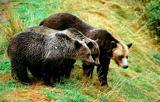 Grizzly bear viewing safari - Grizzly bear viewing safari