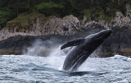 Have the chance to see humpback whales on your zodiac tour - Have the chance to see humpback whales on your zodiac tour