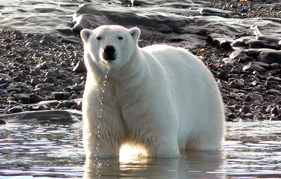 Polar bear viewing - Polar bear viewing