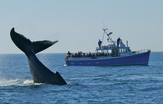 Go whale watching in the Saguenay Fjord