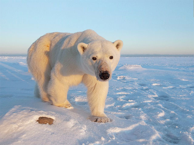 Witness mighty polar bears on a wildlife safari in Churchill.