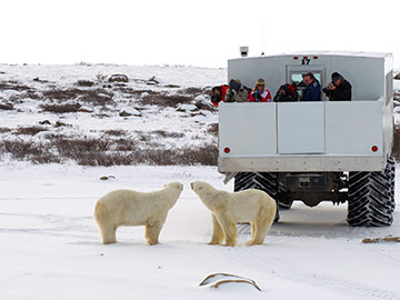Discover the polar bear migration on an unforgettable journey to arctic Canada