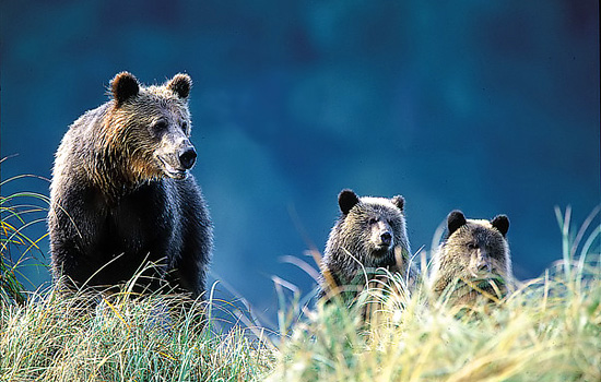 Grizzly bear viewing tour