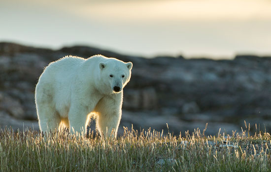 Witness polar bears and beluga whales when visiting Churchill