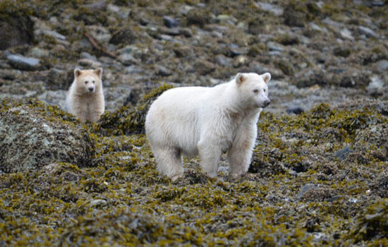We saw spirit bears