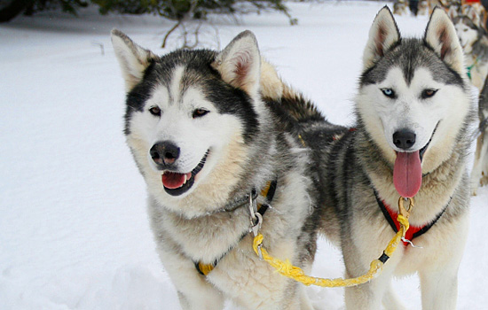 Two huskies harnessed together ready for a dogsledding tour