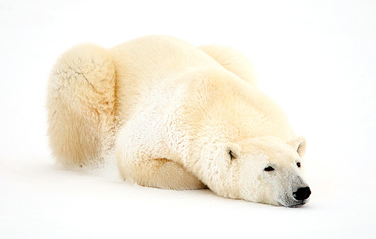 An adult polar bear lays down in the snow