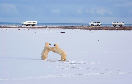 Polar bear tour buses pass by two bears wrestling in the snow