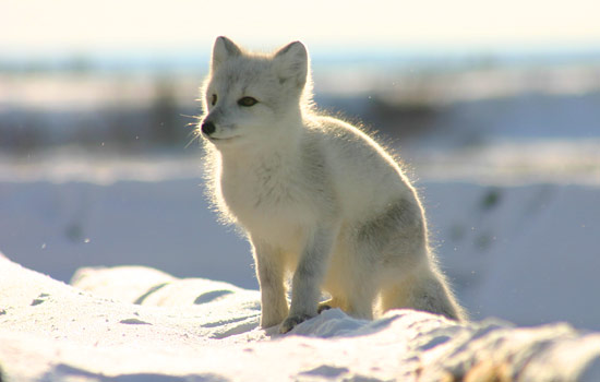 An arctic fox sits in the snow