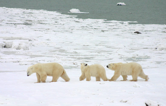 The bears gather in this area every year, waiting for the bay to freeze.