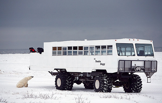 A curious polar bear visits the Tundra Buggy on a polar bear viewing tour
