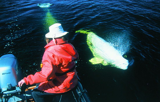 Take a Zodiac tour to learn about beluga whales from expert guides.