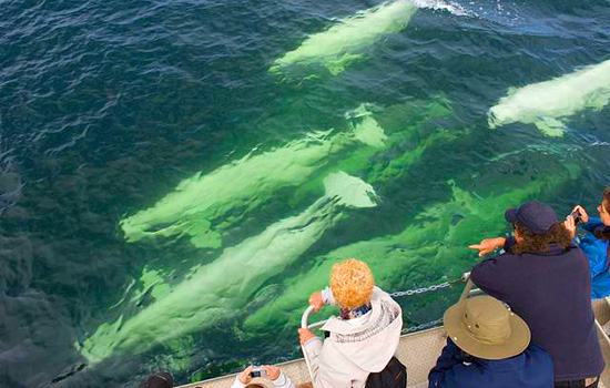 A pod of belugas swim past fascinated whale watchers