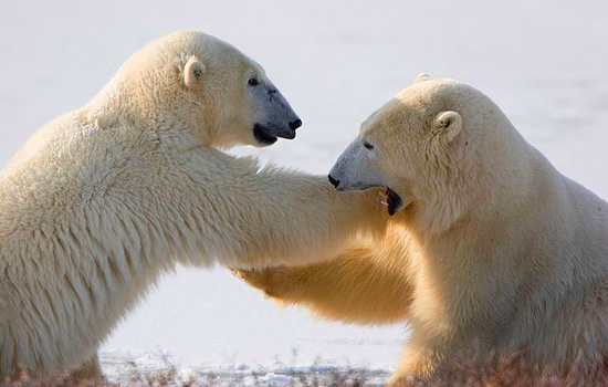 Two polar bears wrestle in the snow