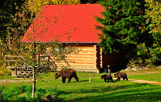 A grizzly bear family wander past the Tweedsmuir Park Lodge in Bella Coola