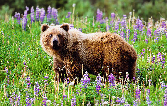 Grizzly bear standing in a field of wildflowers