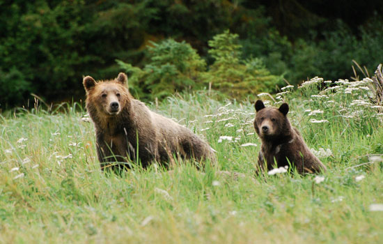 Grizzly Bears in British Columbia