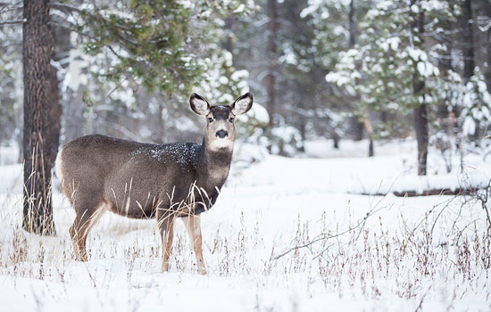A deer in the snow in the Canadian Rockies