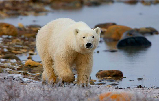 A polar bear walks along the rocky shoreline of the Hudson Bay