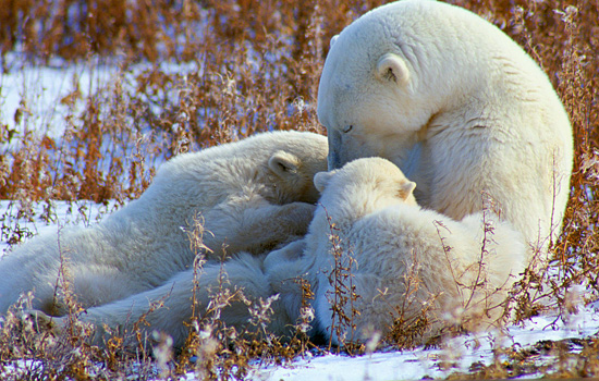 A polar bear mother cuddles with her two cubs