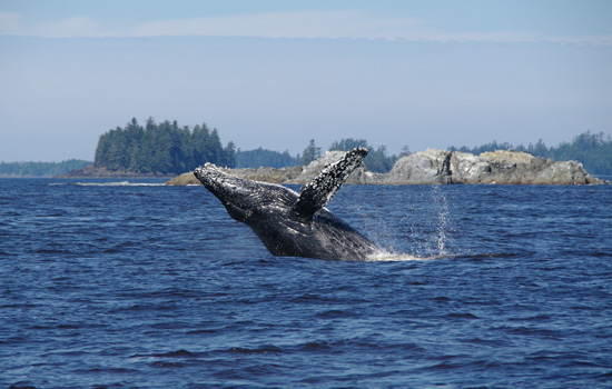Whale watching in Tofino, Vancouver Island