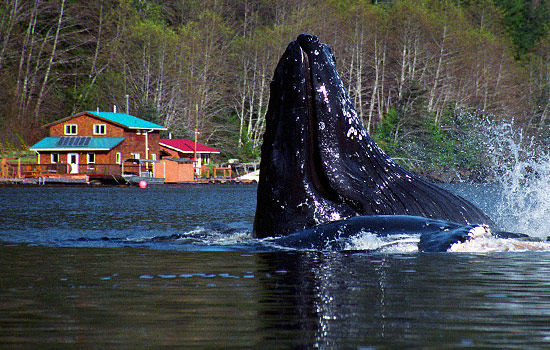 A whale can be seen in front of the floating Great Bear Lodge in Port Hardy