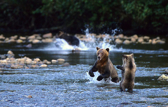 Grizzly Bears of the Great Bear Rainforest