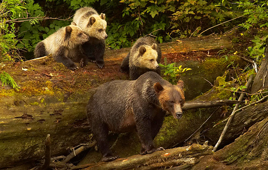 A Grizzly Bear family comes down to the water to find returning salmon.