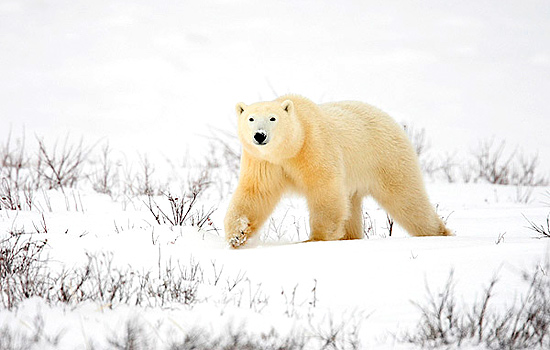 A polar bear wanders through the snow in Churchill