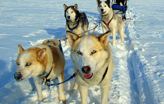 A pack of sled-dogs harnessed together in the snow