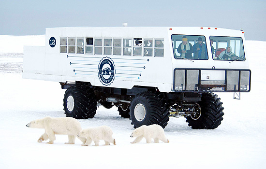 Passengers on the Tundra Buggy photgraph a passing polar bear