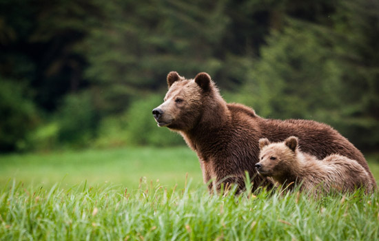 Discover the Bears of Canada by Train