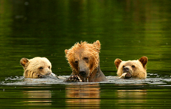A grizzly bear family take a dip in the river