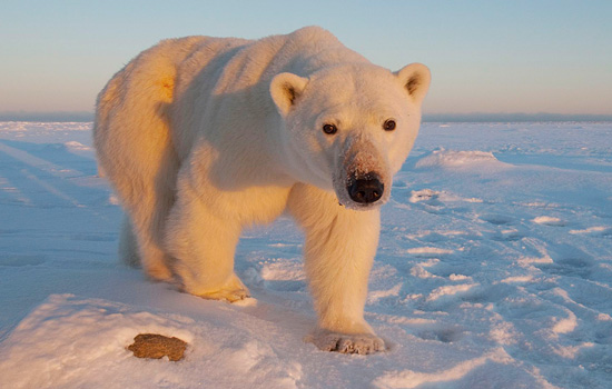 Journey across Canada by sleeper train to visit the polar bears in Churchill