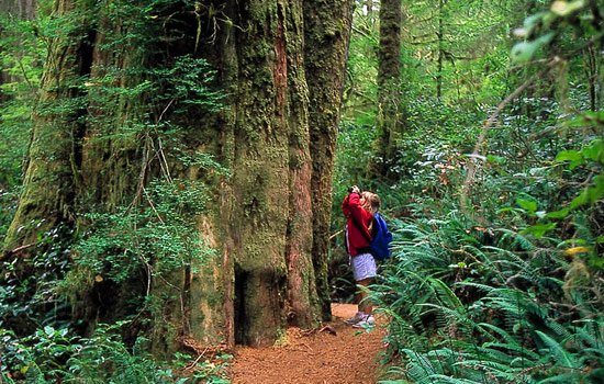 A girl photographs a large tree in the rainforest on Vancouver Island