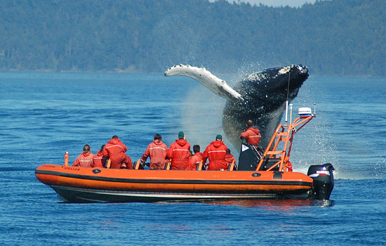 A whale breaching in front of a zodiac boat carrying passengers on a whale watching tour