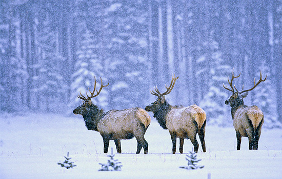 Snow falls on some reindeer in Jasper National Park
