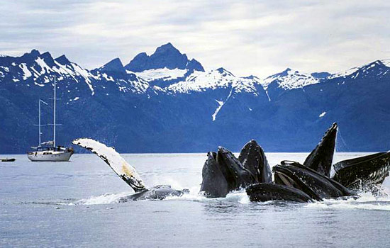 Whales with mountains and a sailboat in the background