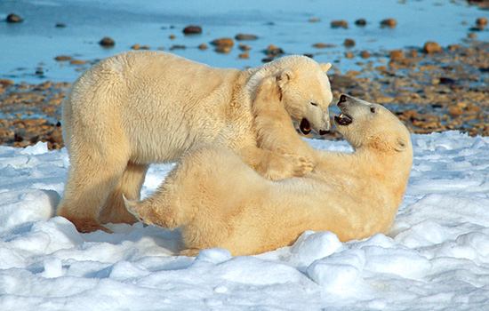 Two playful polar bears wrestle in the snow