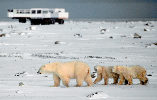 Passengers on the Tundra Buggy in Churchill watch as a polar bear family wander past
