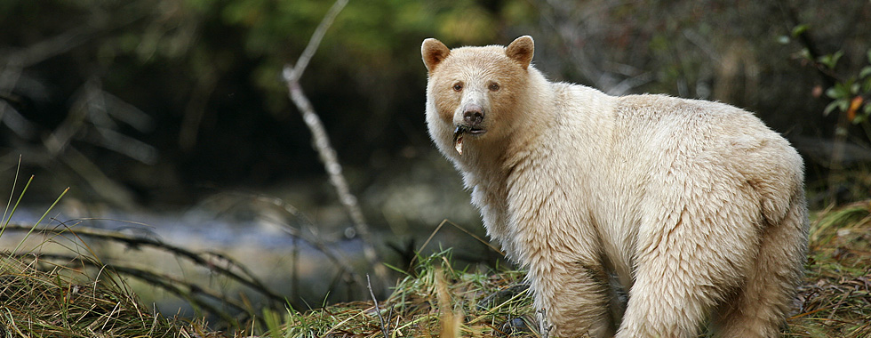 Indigenous to British Columbia's Great Bear Rainforest, the Kermode 'Spirit' Bear is a rare sight, with fewer than 400 left in the world.